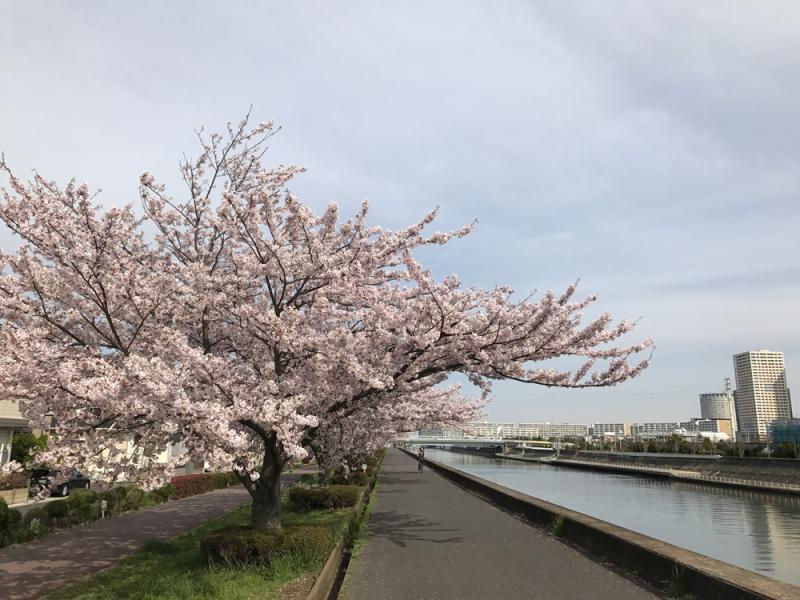 Sakura20170410_1
