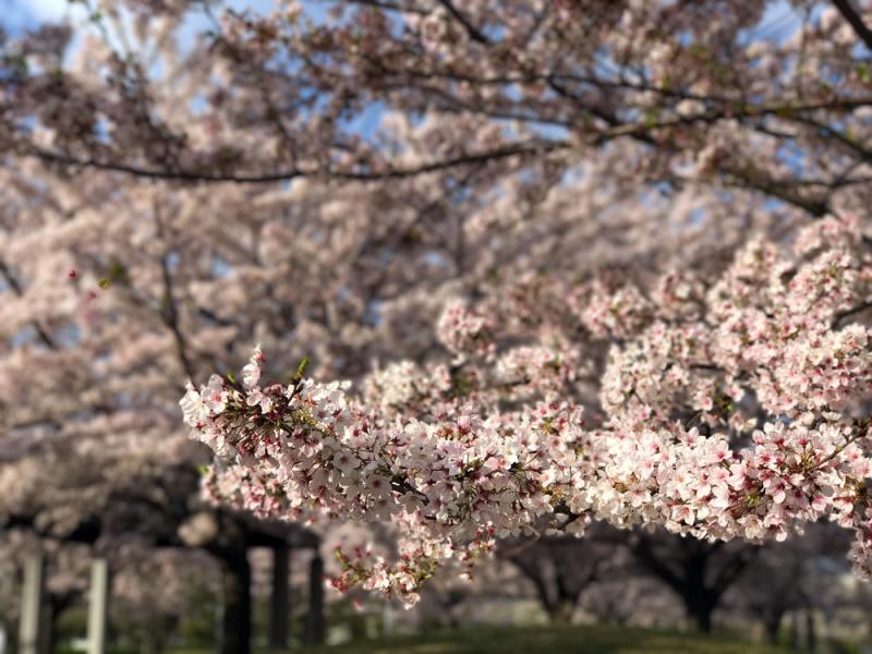 Sakura20170414_1