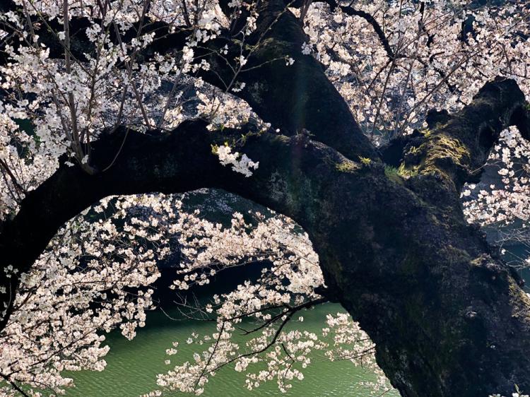 Sakura2018_1