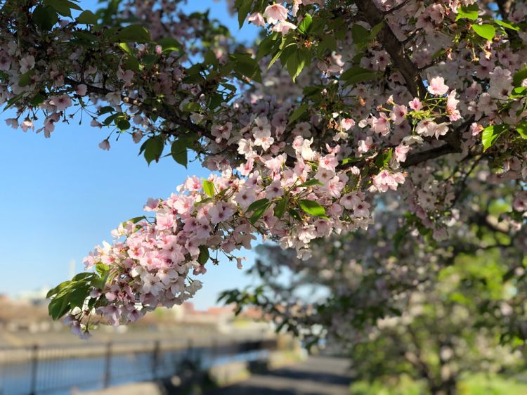 Sakaigawasakura2019_1