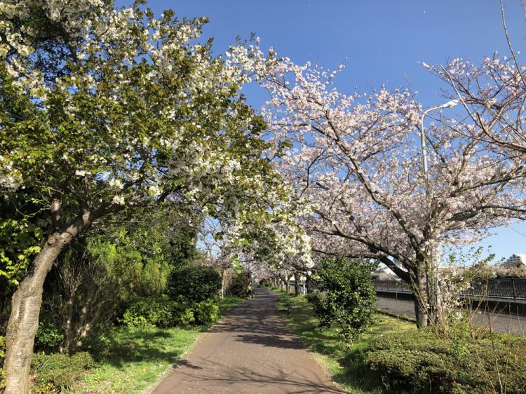 Sakura20200402_1
