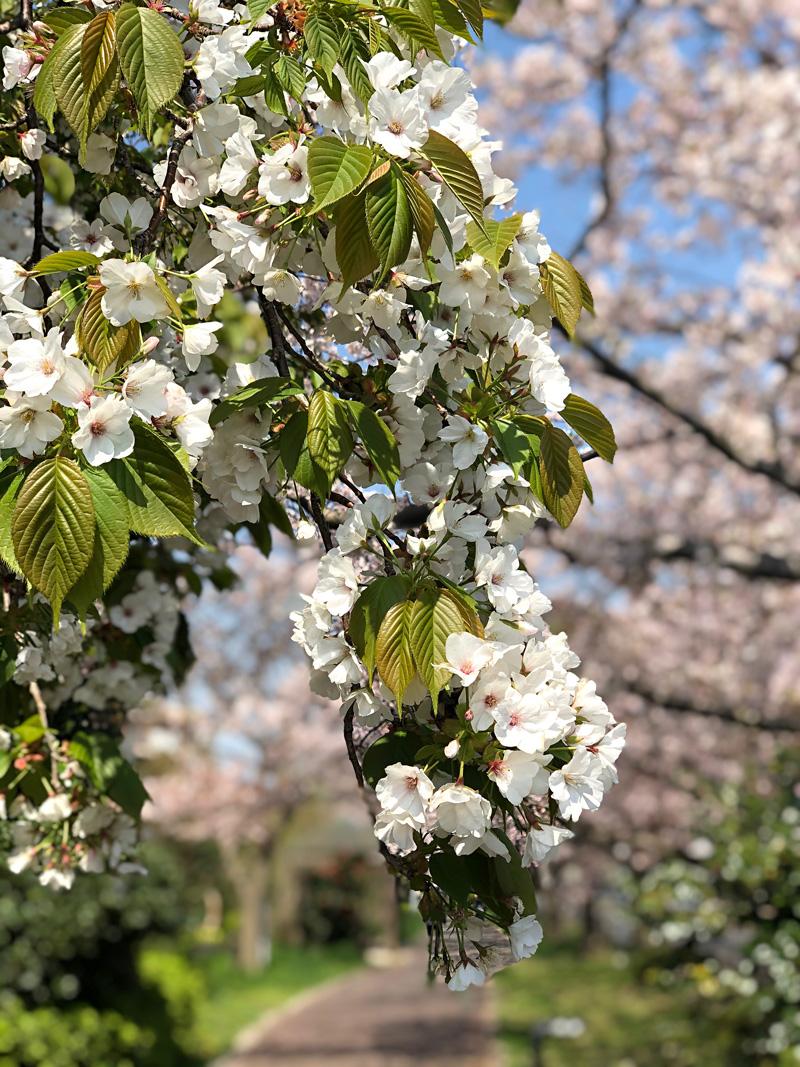 Sakura20200404