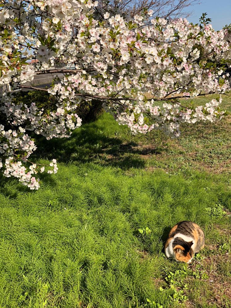 Sakura20200324_2