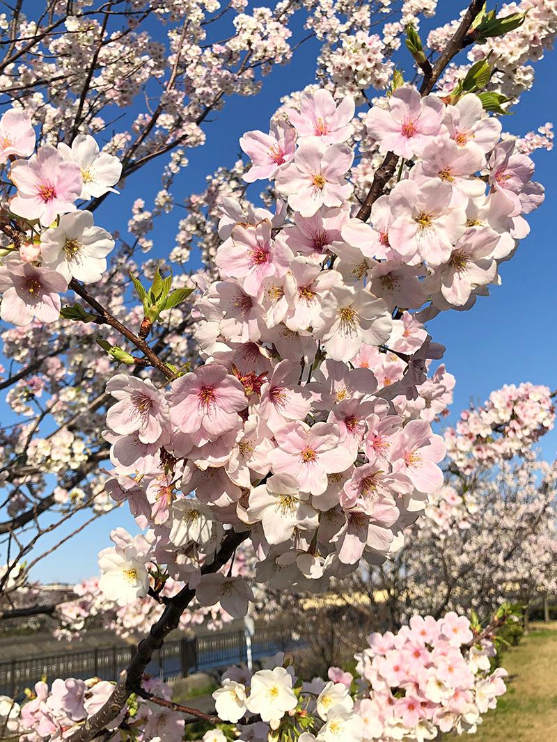 Sakura20200324_1