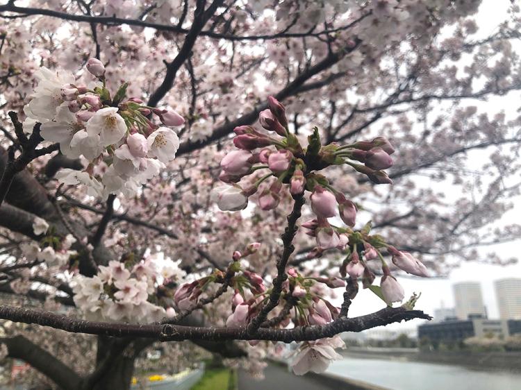 Sakura20200331_2