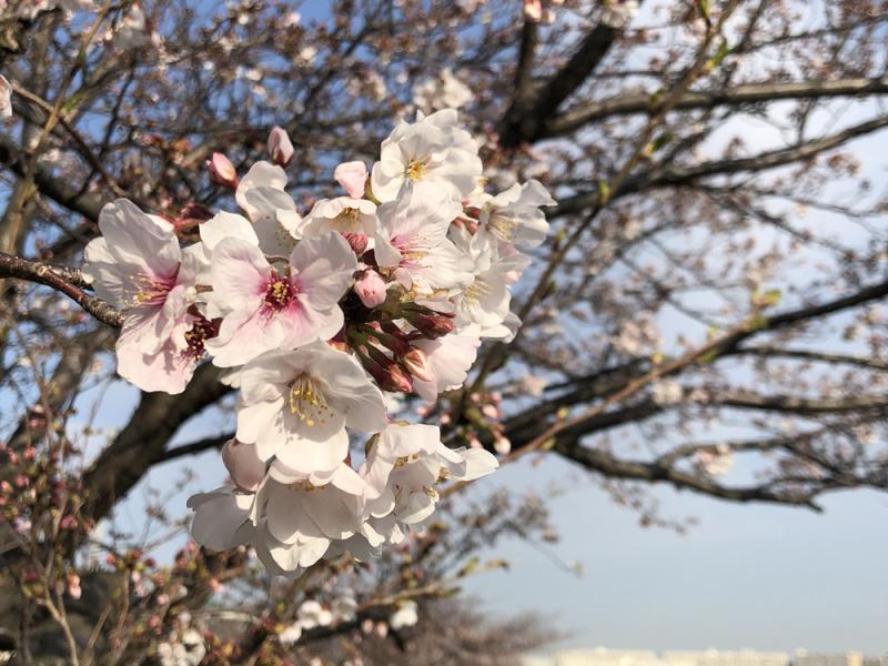 Sakaigawasakura202003_2