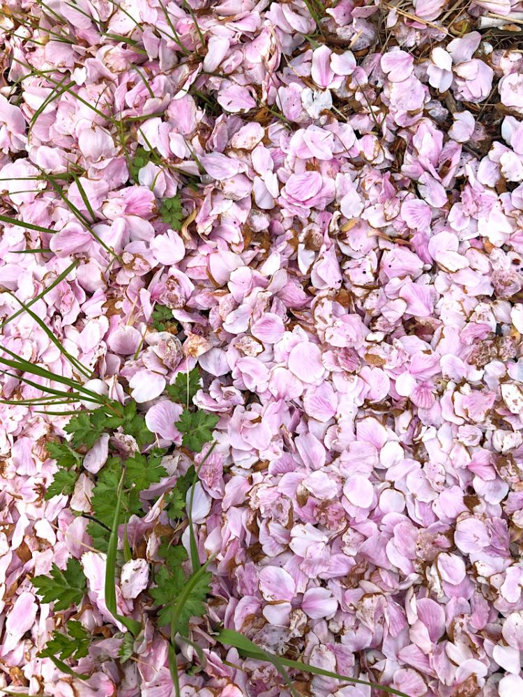 Sakura20200330