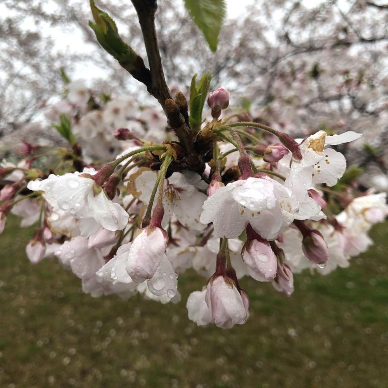 Sakura20200401