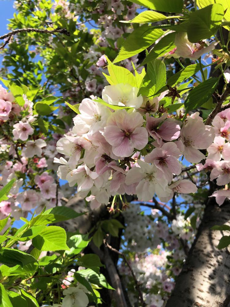 Sakura20200402_2
