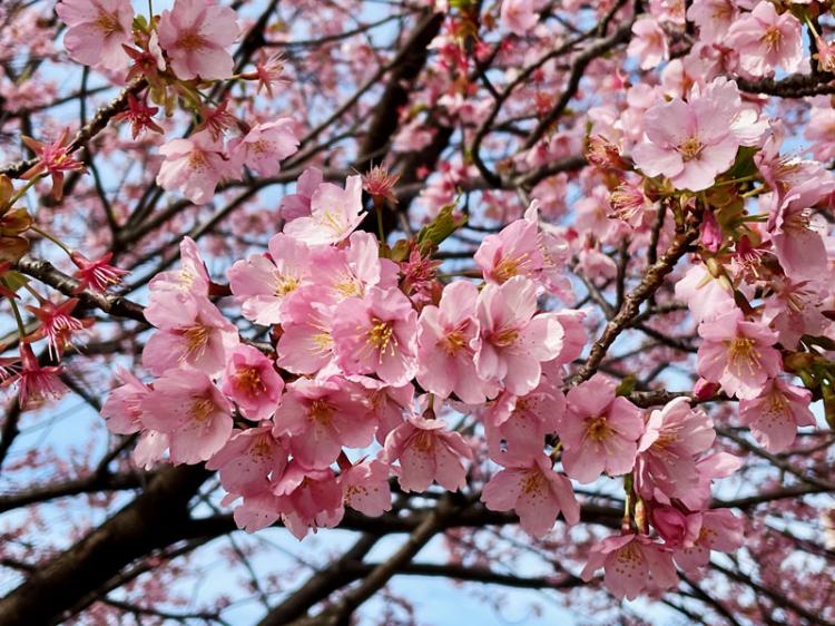 Sakura20210306