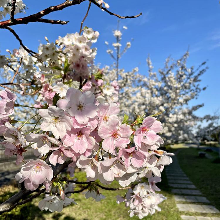 Sakura20210324_1