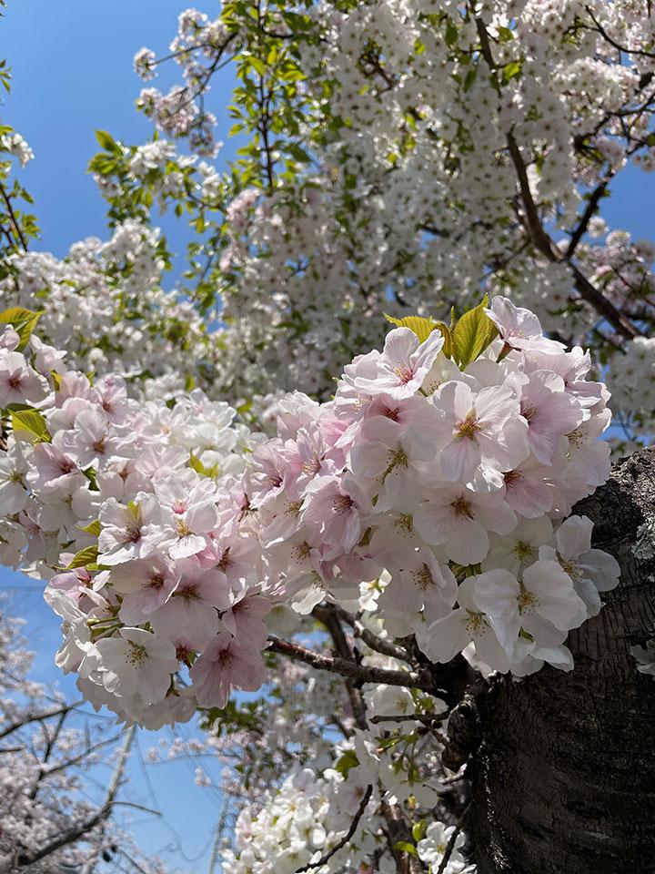 Sakura20210327_1