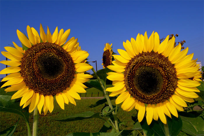 Sunflower08_2