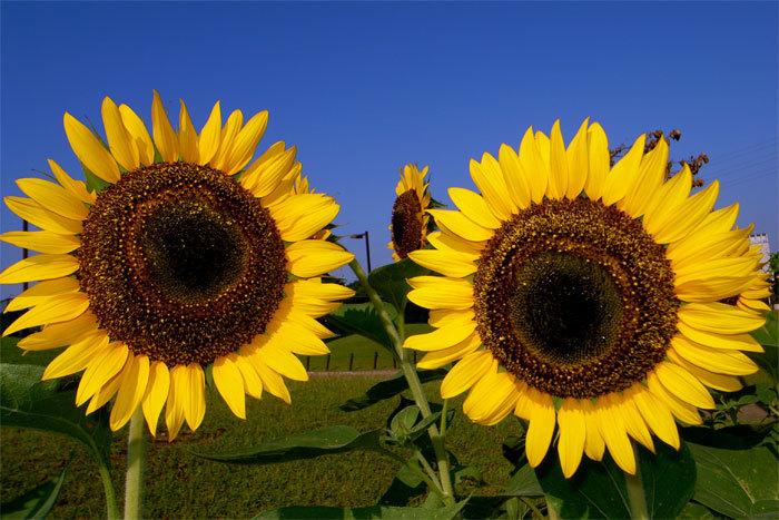 Sunflower08_2