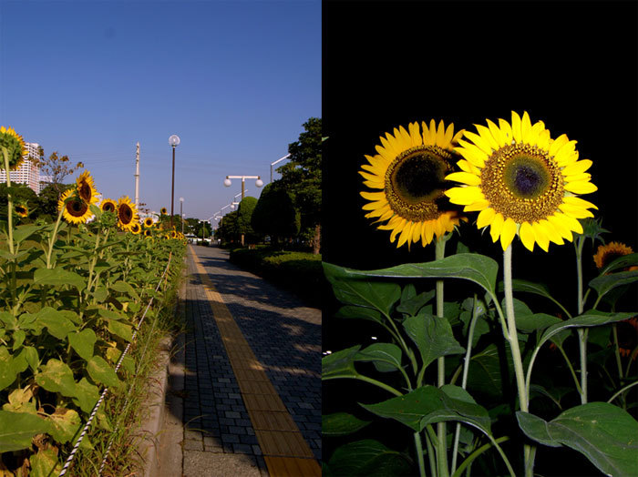 Sunflower08_3