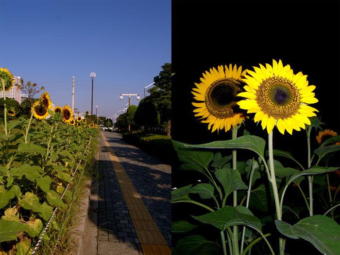 Sunflower08_3