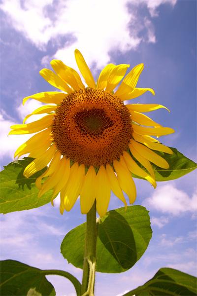 Sunflower08_1