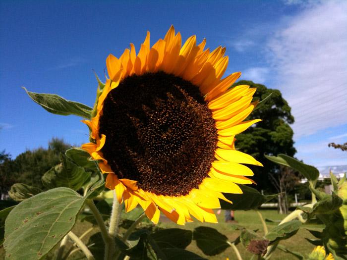 Sunflower09_8